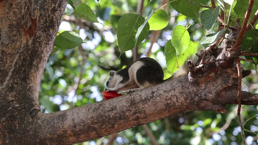 Giant african squirrel