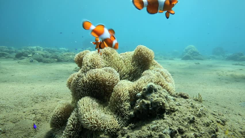 Bright orange anemonefish or clownfish sheltering in anemone underwater off the coast of Negros Island, Philippines