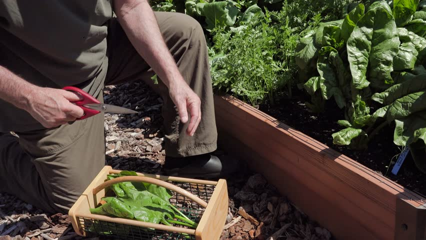 Spinach harvest: a gardener cuts large spinach leaves from his raised bed garden and places them in a hod.  4K Utra Quad HD. - 4K stock video clip