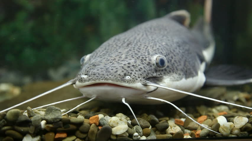 Catfish definition meaning for What does cat fishing mean
