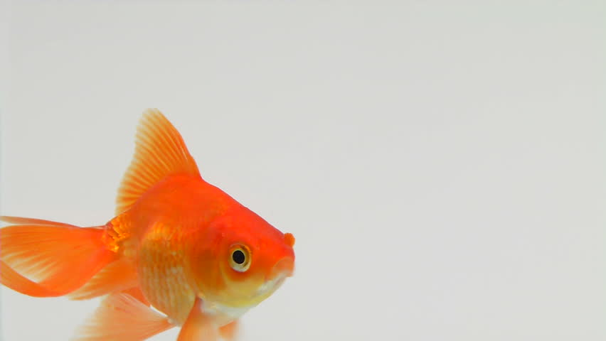 Goldfish footage stock clips videos for Koi fry pool