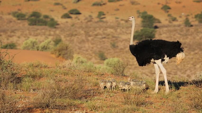 birds desert ostrich hd - photo #3