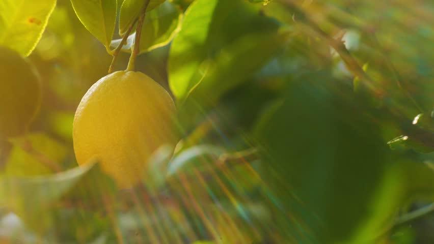 Pan across beautiful lemon tree. Slow motion.