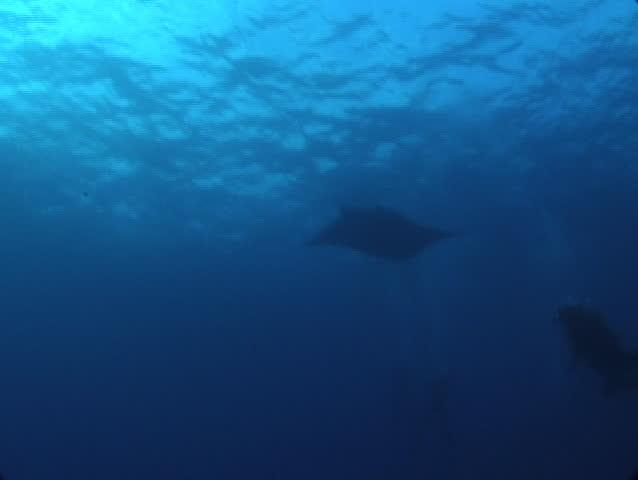 Manta Ray Gliding over Scuba Diver - SD stock video clip