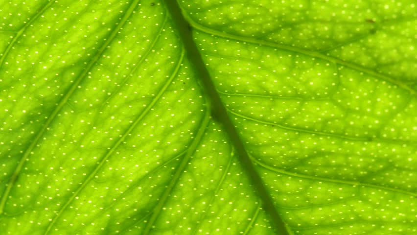 Macro of a lemon leaf - HD stock video clip