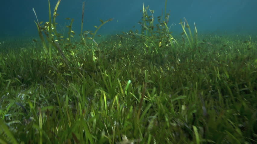 Rabbitfish Grazing Amongst Seagrass In Shallow Water At