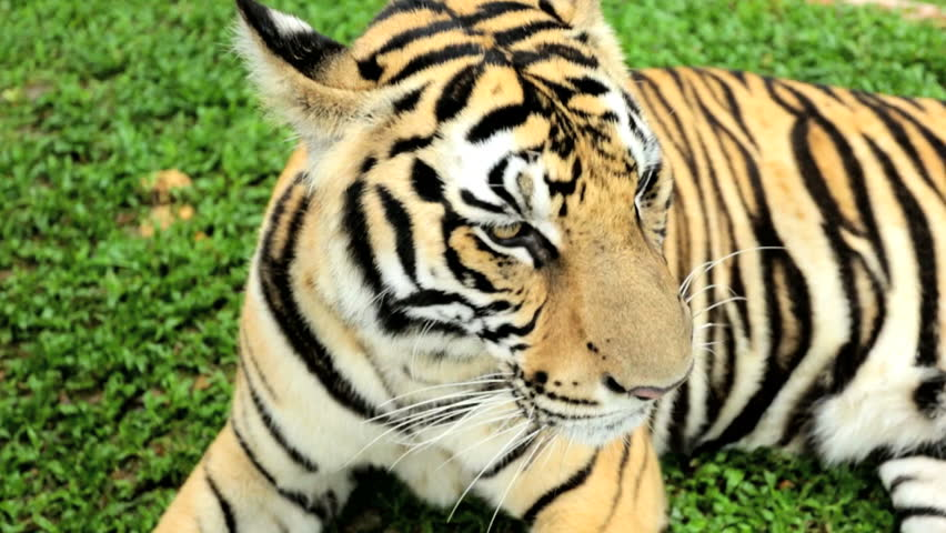 Close Up Asian Tiger Relaxing Voted Worlds Favorite Animal ...