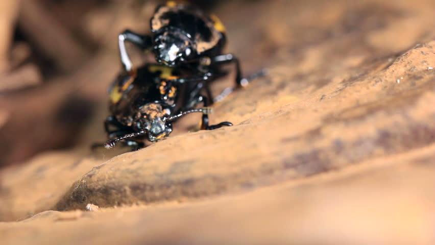 Pair of pleasing fungus beetles (Erotylidae) mating on a bracket fungus in rainforest, Ecuador - HD stock video clip