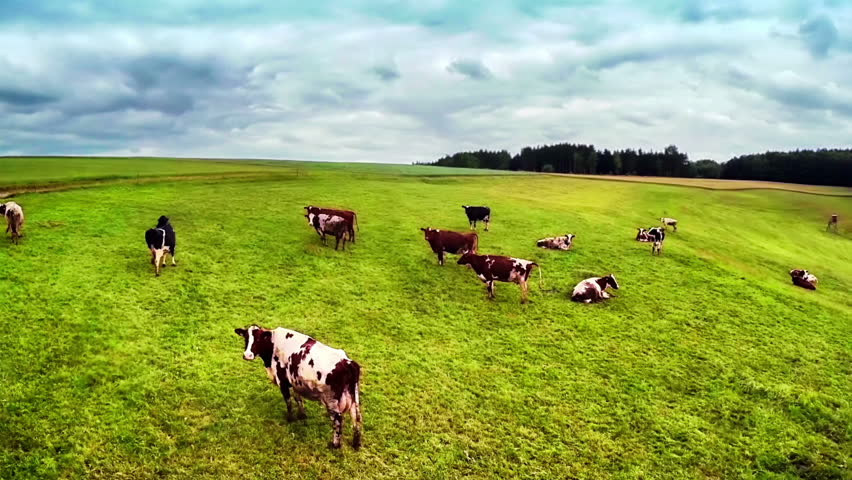 Flying over green field with grazing cows - HD stock footage clip