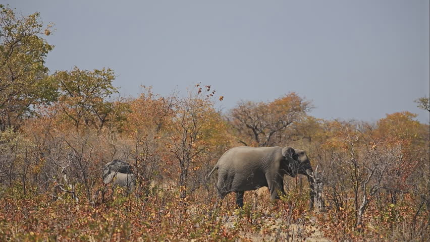 Elephants walking in the savannah, left to right