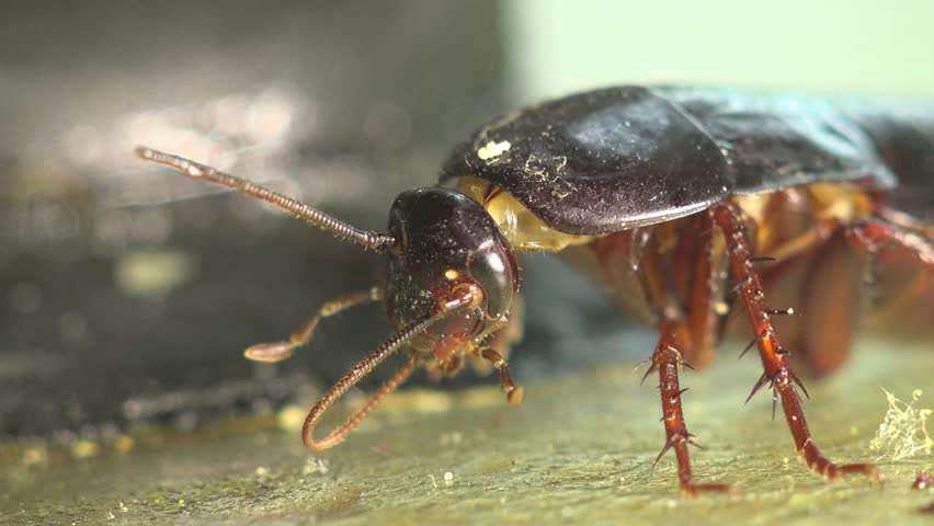 cockroach insect in kitchen macro beetle 4k stock footage clip