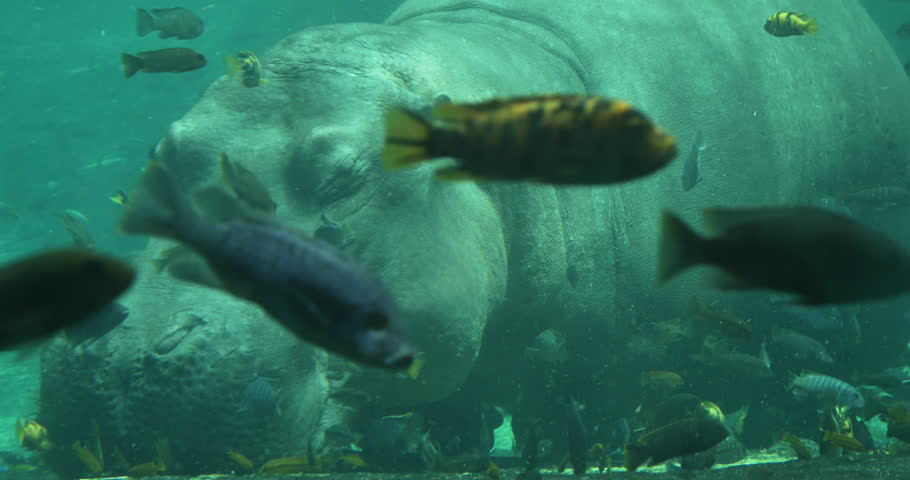 Hippopotamus under the water with fish swimming stock for Fish swimming video