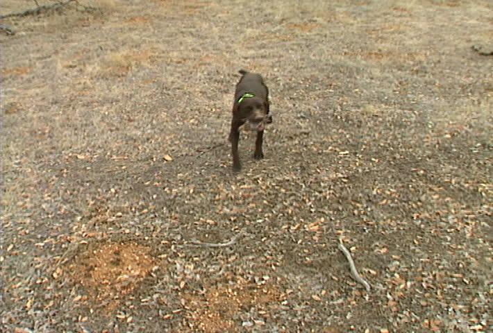 A Labrador retriever fetches a quail for hunters. - SD stock video clip