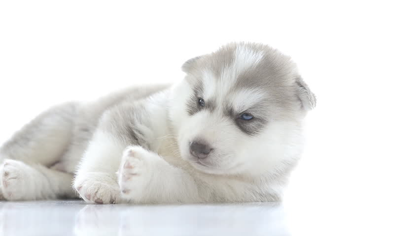 Puppy of siberian husky resting - HD stock footage clip