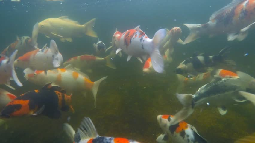 Koi pond underwater video stock footage video 7002265 for Koi fish to pond ratio