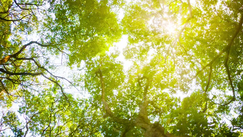 Video 1080p - Crowns of trees with bright afternoon sun and rays. - HD stock footage clip