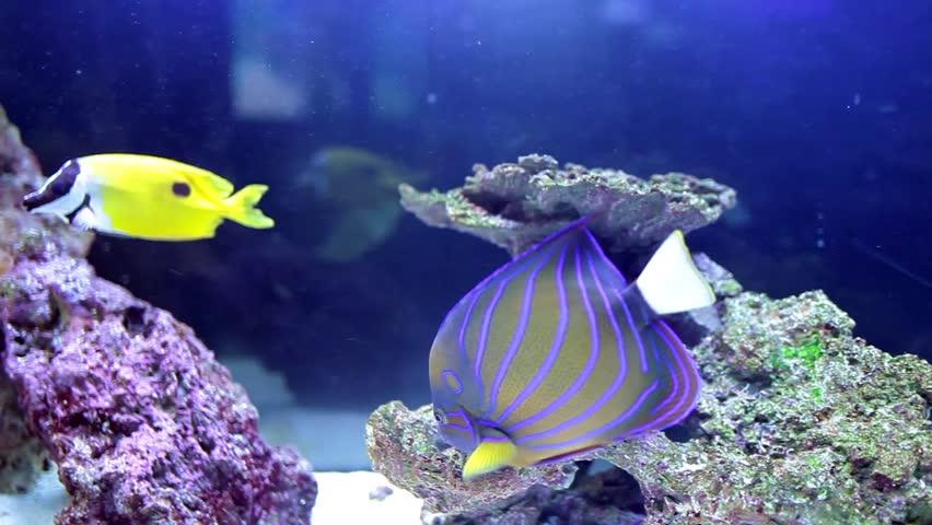 Reef fish:  Annularis Angelfish (Pomacanthus annularis) and Longhorn Cowfish (Lactoria Cornuta).