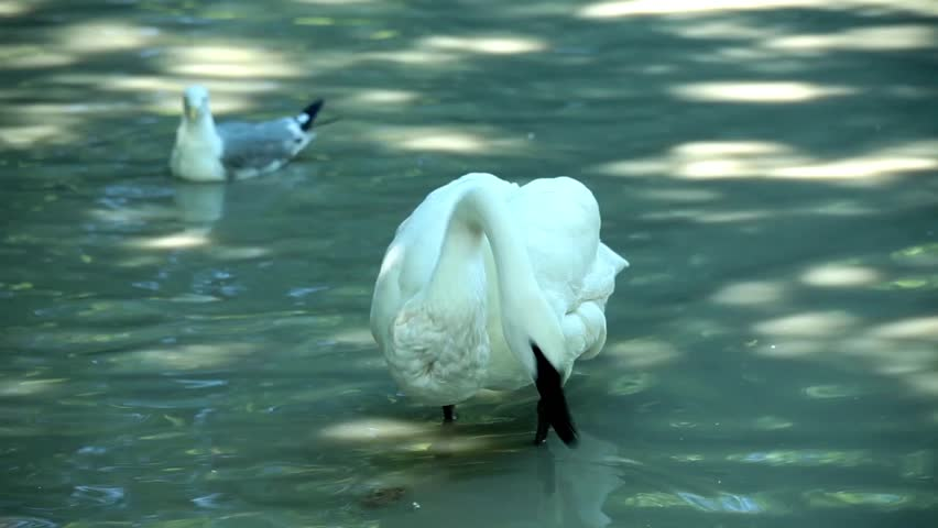 Video clip of swan and seagulls in the pond.