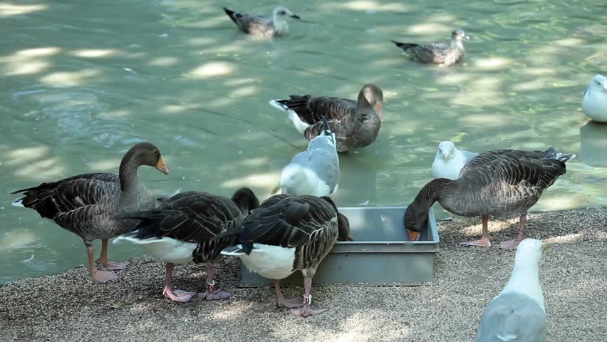 Video clip of geese eating near pond with birds.