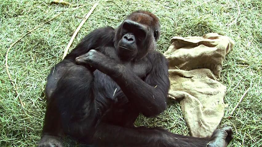 The Critically Endangered Mountain Gorilla. The Dominant ...