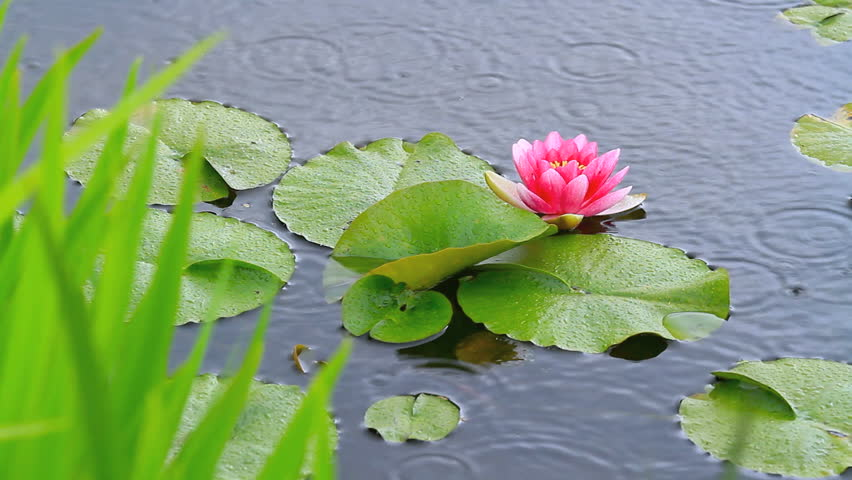Rain falling in pool with water lilies.