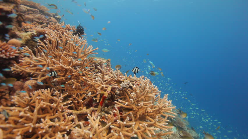 Beautiful Hard Corals With Small Reef Fish Stock Footage