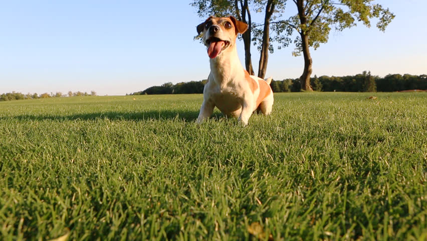 Agitated young healthy active dog runs on a green field with trees. Funny Jack Russell Terrier best dog! - HD stock video clip