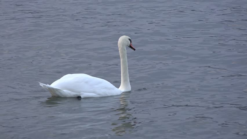 Beautiful white swan swimming in the waters of lake Ontario in Canada.