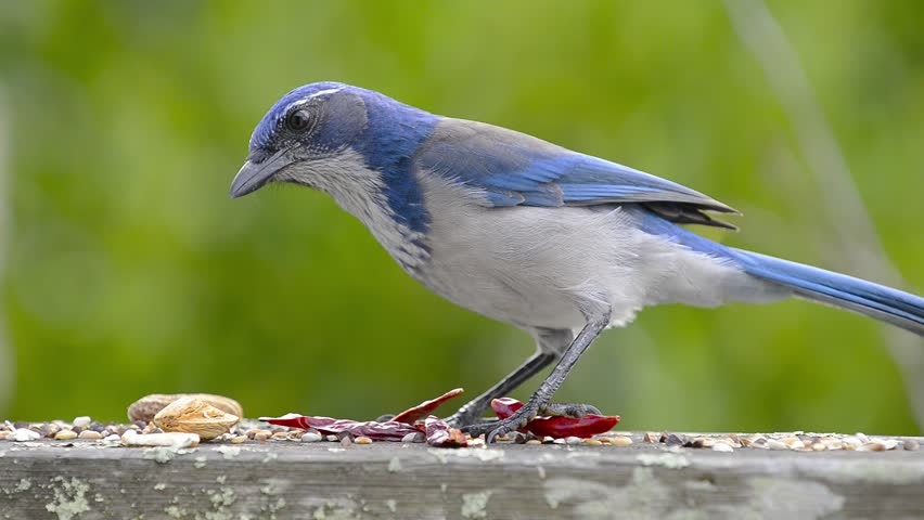 A Western Scrub Jay grabs a peanut and flies off. Green foliage out of focus in the background.