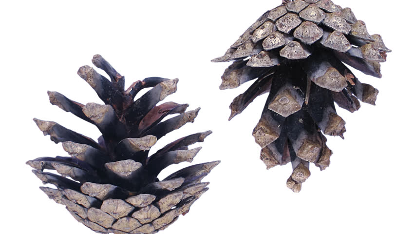 Time-lapse of opening pine cone with ALPHA 1d1 in PNG+ format with alpha transparency channel isolated on white background