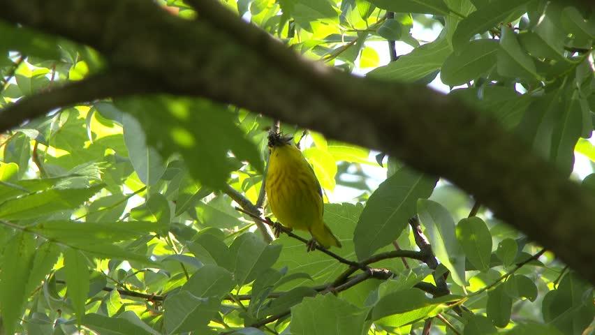 Header of American Yellow Warbler