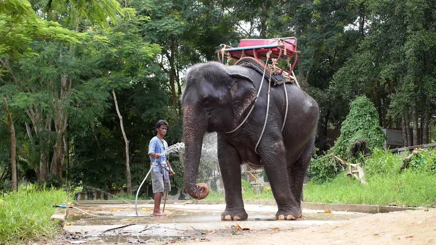 Koh Samui, Thailand, October 2014.Man Washing Baby Elephant. Beautiful Video from Samui Elephant Tracking Park. Thailand. Slow Motion. HD, 1920x1080.