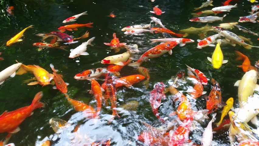 Koi fish swimming with 4k resolution stock footage video for Koi swimming