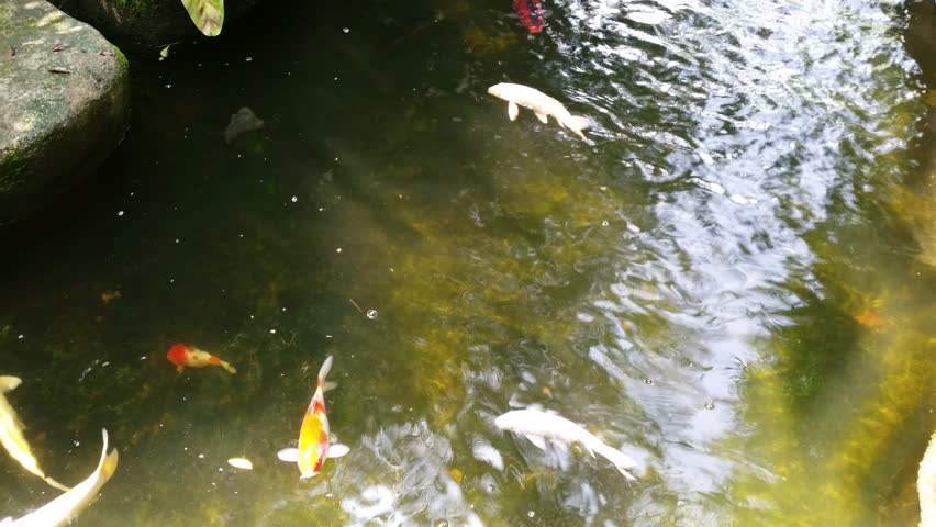 Koi fish swimming with 4k resolution stock footage video for Koi fish swimming