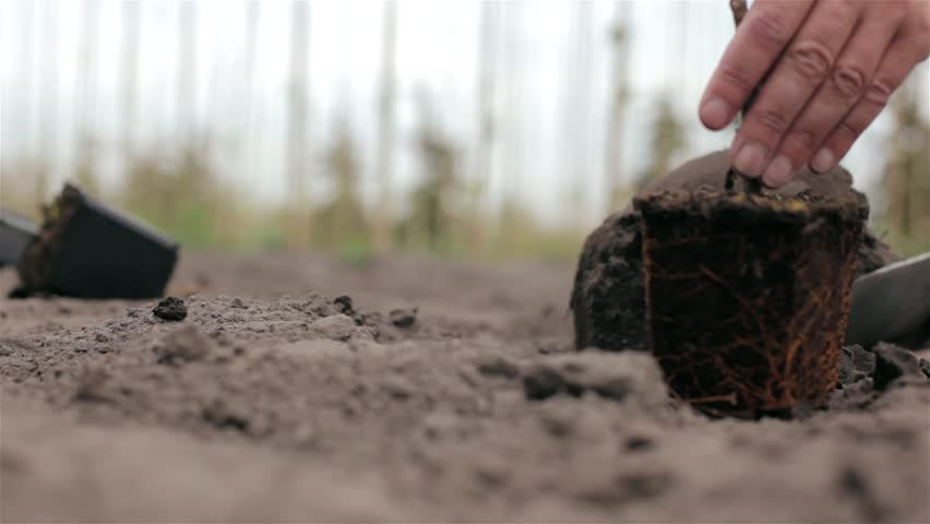 Close up of planting a small tree in the ground with hands