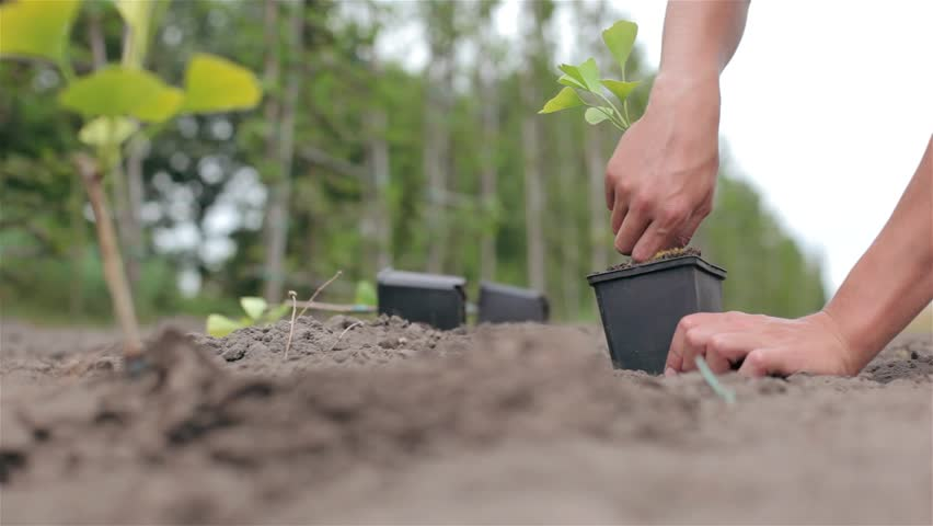 Close up of planting a little tree in the ground