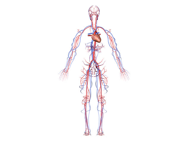 PAL Circulatory System