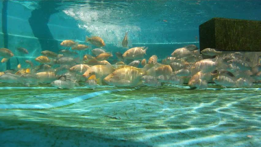Tilapia fish swimming underwater in an aquaponic gardening system tank.