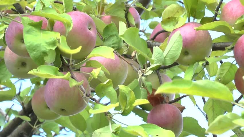 apples growing on a apple tree