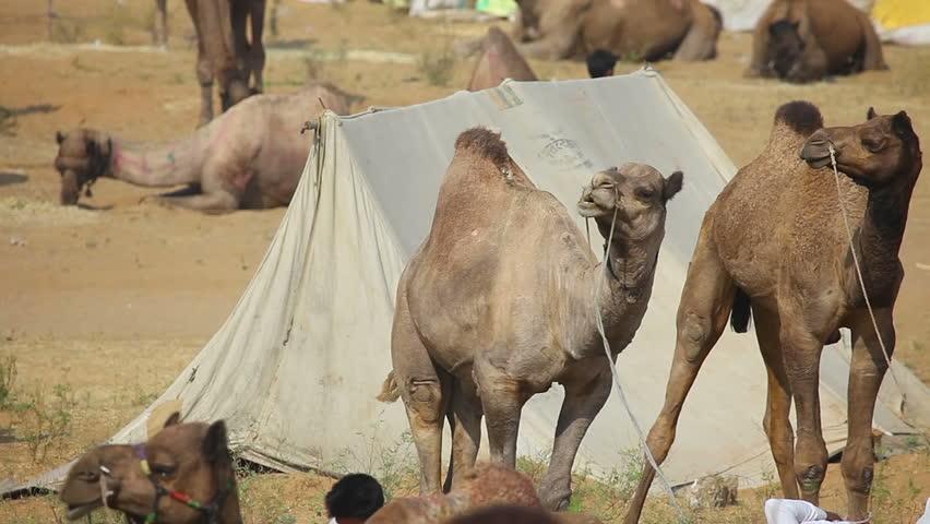 PUSHKAR, INDIA - NOVEMBER 21, 2012: Herds of camels at the Pushkar Camel Fair, on Nov.21, 2012, Pushkar, Rajasthan, India. - HD stock video clip