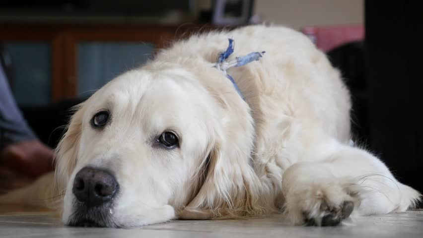 An English White Cream Retriever Dog Lying On A Tile Floor Keeping Cool