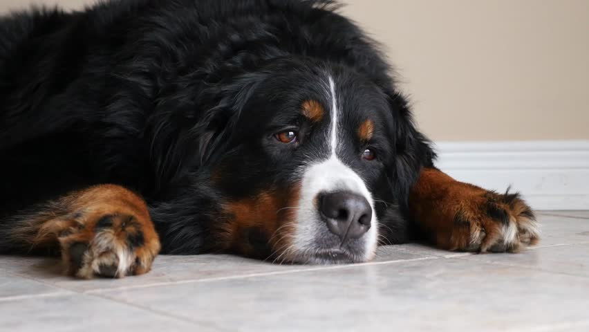 A Bernese Mountain Dog Lying On A Tile Floor Looking At People In The Room