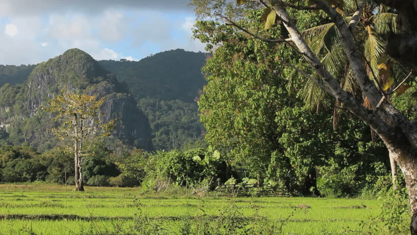 Green rice fields in the jungle