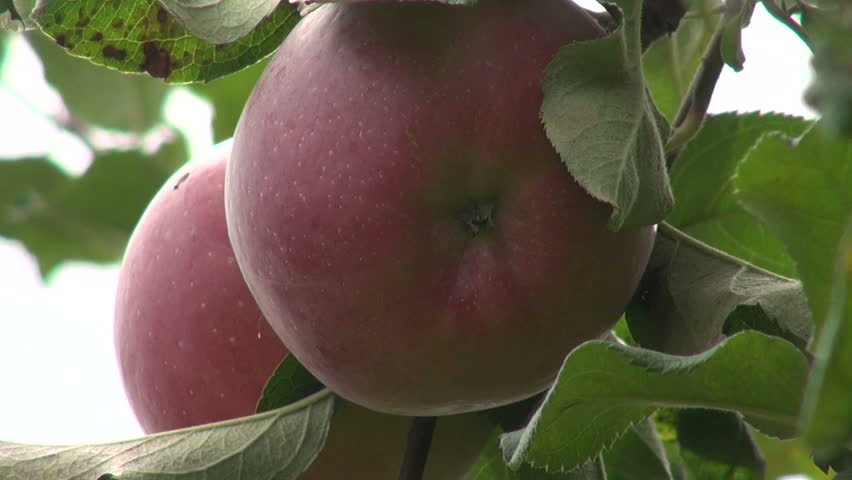 Apple tree, organic Jonathan apples, fruits, raw, orchard, farm, horticulture, close up