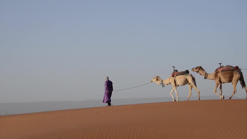 A berber walking on a sand dune with his caravan of camels in the spring in the Sahara Desert in Morocco.