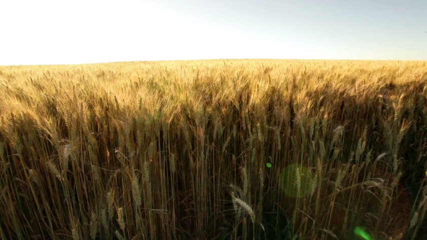 pan shot directly over wheat field in sunshine