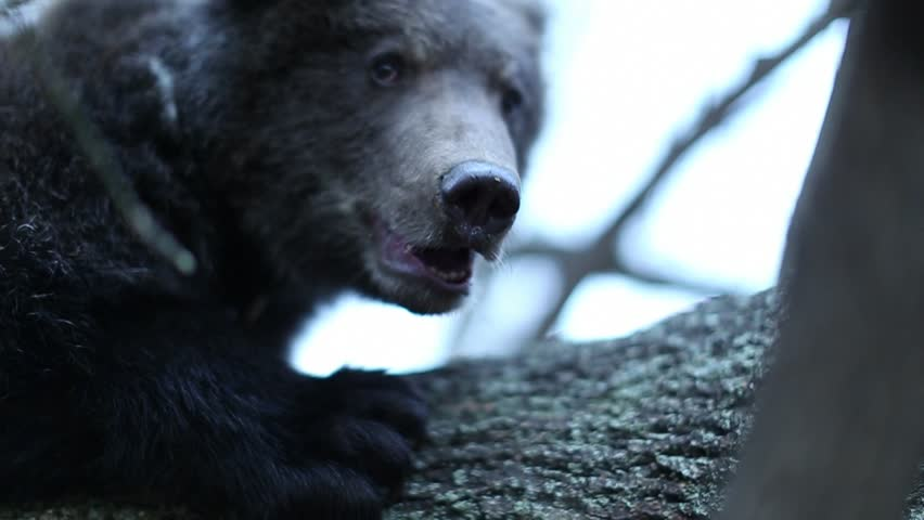 Moscow, Russia - OCTOBER 03.2014: Bear gnawing the bark of a tree. Bear playing in nature.