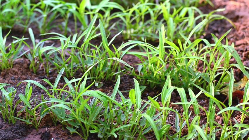 fertilizer,soil,Farmer hand giving compost fertilizer to young plant