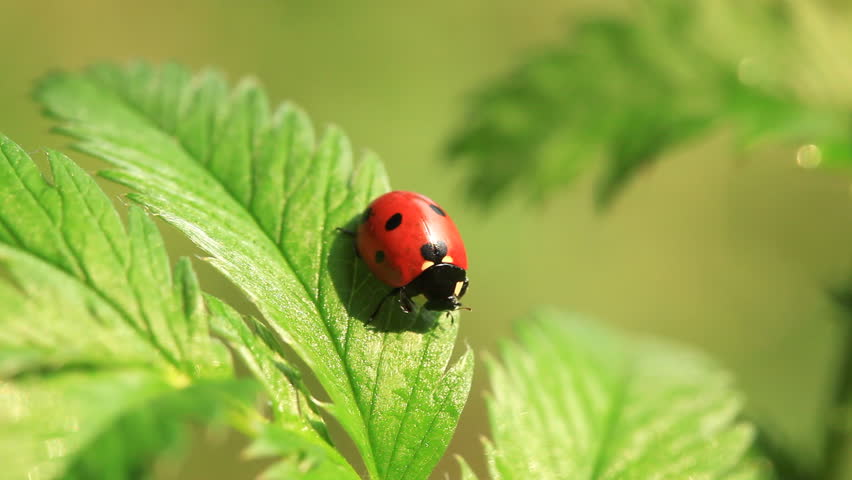 Ladybug on green fresh leaf. Close-up - HD stock video clip