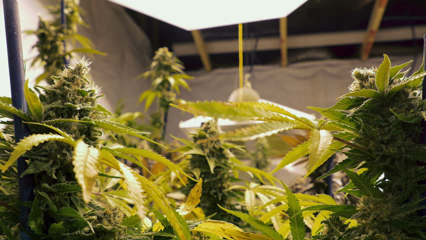Close Up Marijuana Buds on Plants Growing Indoor